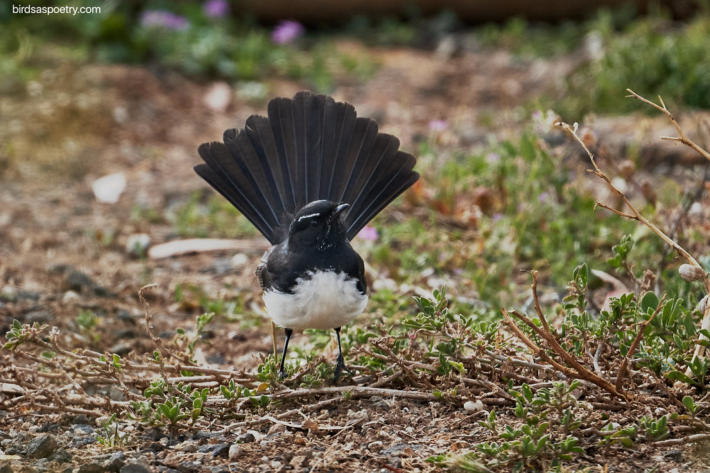 Willie Wagtail: On Display