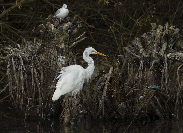 Great White Egret - 'what was that?'