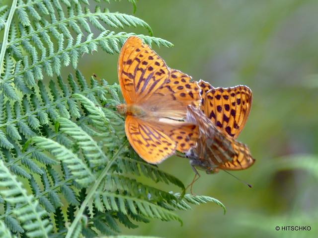 Rotmoos - Kaisermantel (Argynnis paphia)
