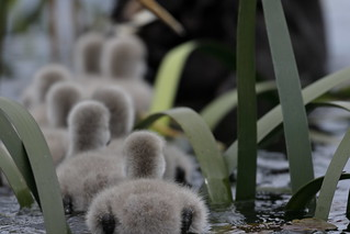 Cygnets | by blachswan