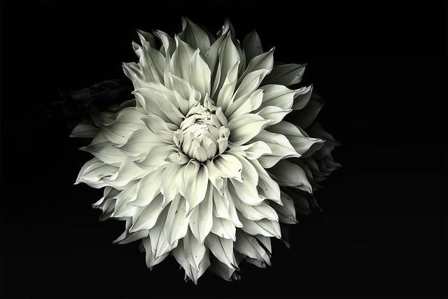 Chrysanthemum classic B&W