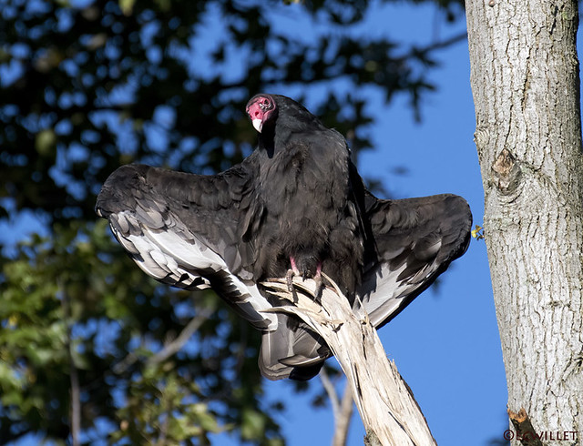 turkey vulture drying in the sun