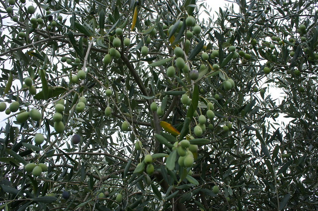 Olive Oil - Cantina Direct