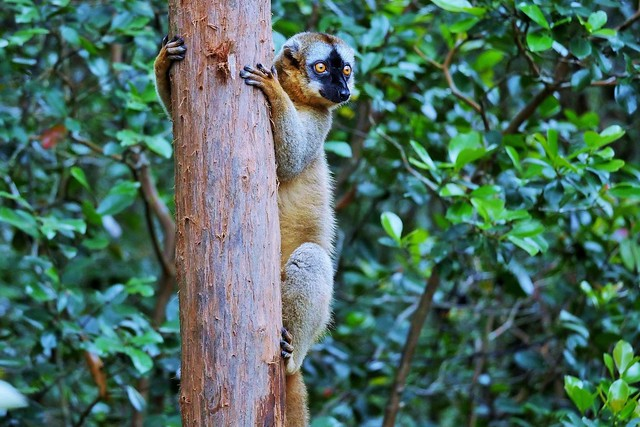 Red-fronted Lemur (M) (Eulemur rufifrons)_
