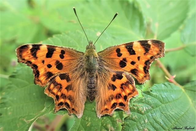 Butterfly 2095 (Polygonia c-album)