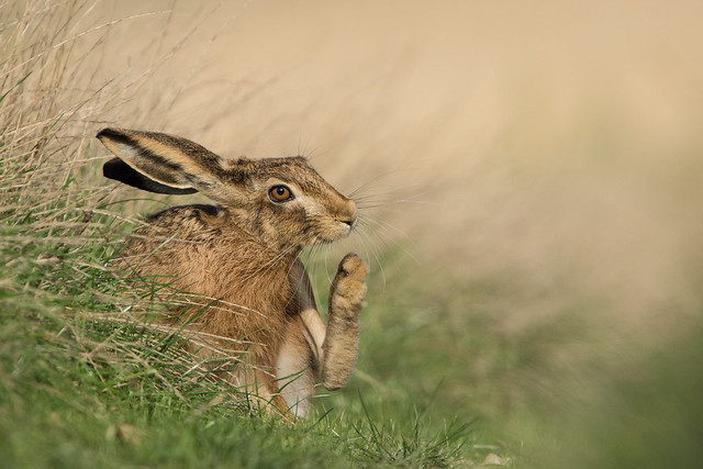 Brown Hare Lepus europaeus 6 - In Reflective Mood