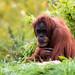 """<p><a href=""""https://www.flickr.com/people/rjtrixster/"""">R.J.Boyd</a> posted a photo:</p>  <p><a href=""""https://www.flickr.com/photos/rjtrixster/50519990351/"""" title=""""Orangutan 20-10-20 (4)""""><img src=""""https://live.staticflickr.com/65535/50519990351_23d0302a39_m.jpg"""" width=""""240"""" height=""""160"""" alt=""""Orangutan 20-10-20 (4)"""" /></a></p>"""
