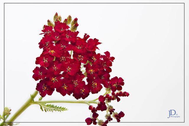 Achillea millefolium, Yarrow 2