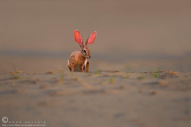 Desert hare / Cape Hare