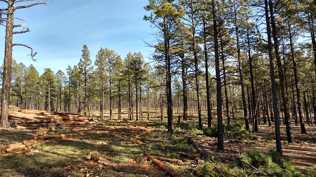 Harvested and unharvested area of the Zuni Mountain Collaborative Forest Landscape Restoration project