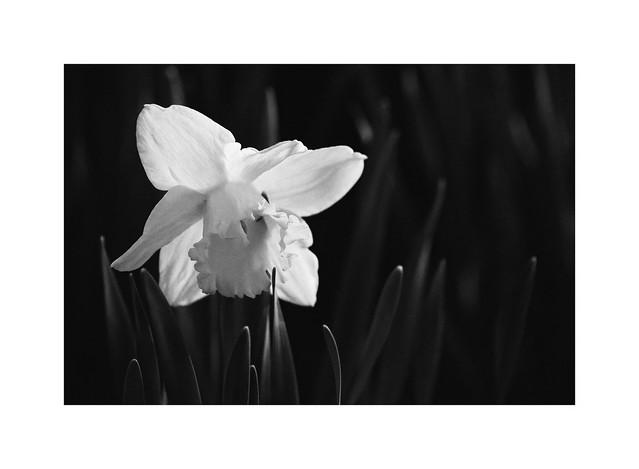 Daffodil, ca 2008