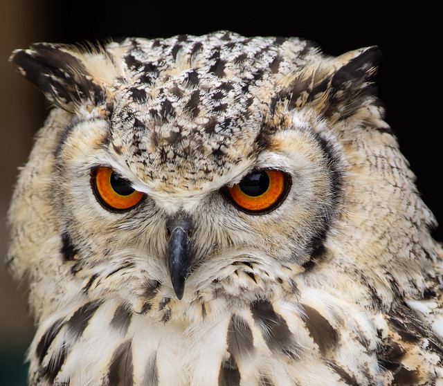 IMGP5631,Bubo bubo,Uhu,Northern Eagle Owl,Grand duc d'Eurasie,Oehoe