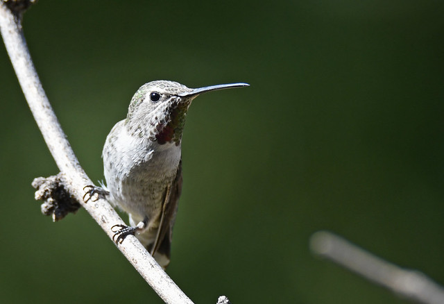 Arizona 2020 - Madera - Annas Hummingbird Female 01