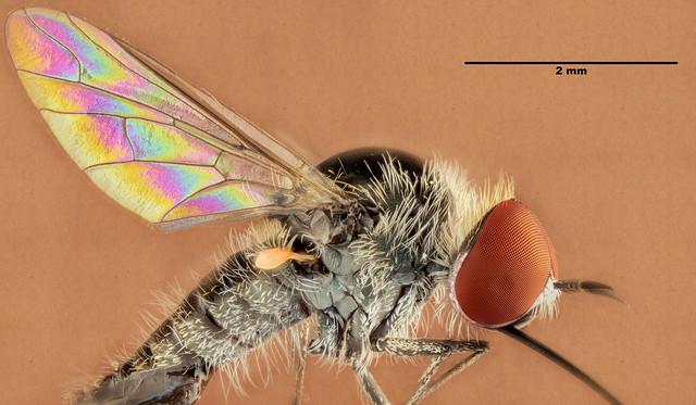 Family Bombyliidae (Bee Flies) - HFDF