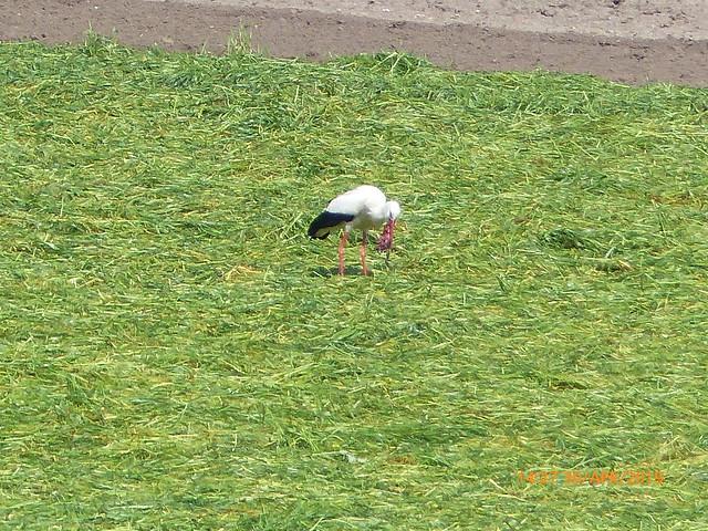 Weißstorch (Ciconia ciconia) macht Beute