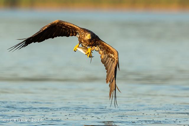 Seeadler(Haliaeetus)