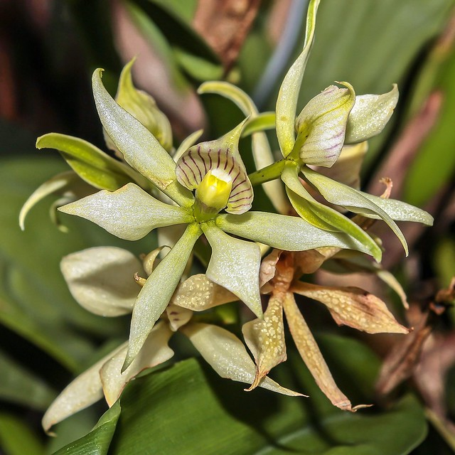 Prosthechea fragrans; Orchidaceae (1)