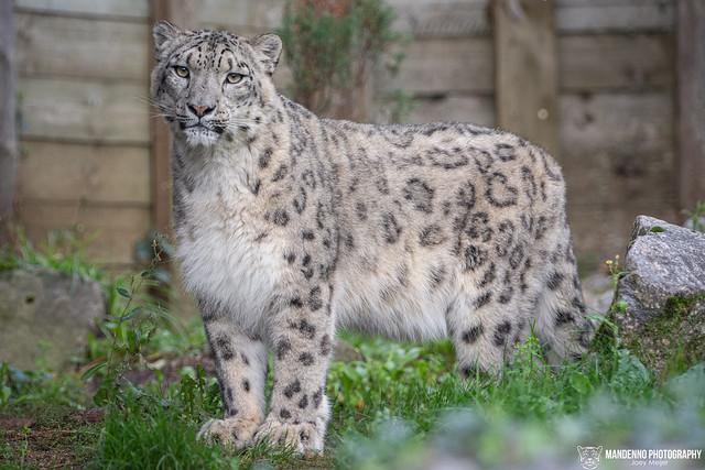 Snow Leopard - Zoo Amneville - France