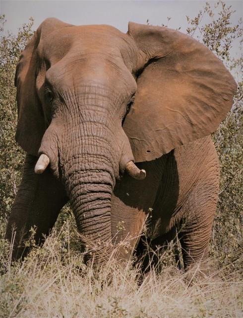 Elephant, Kruger Park - South Africa