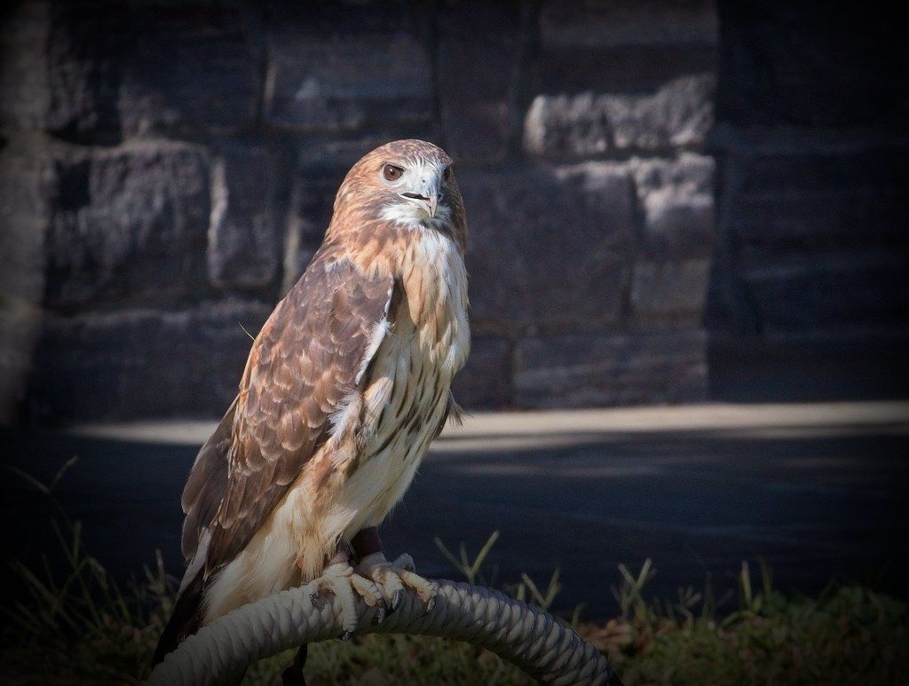 Diana the red-tailed hawk