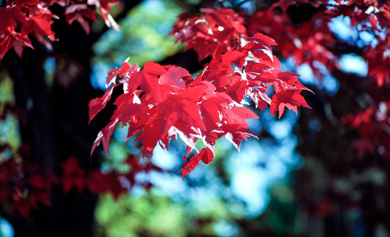 Red Leaves on Cairncroft_