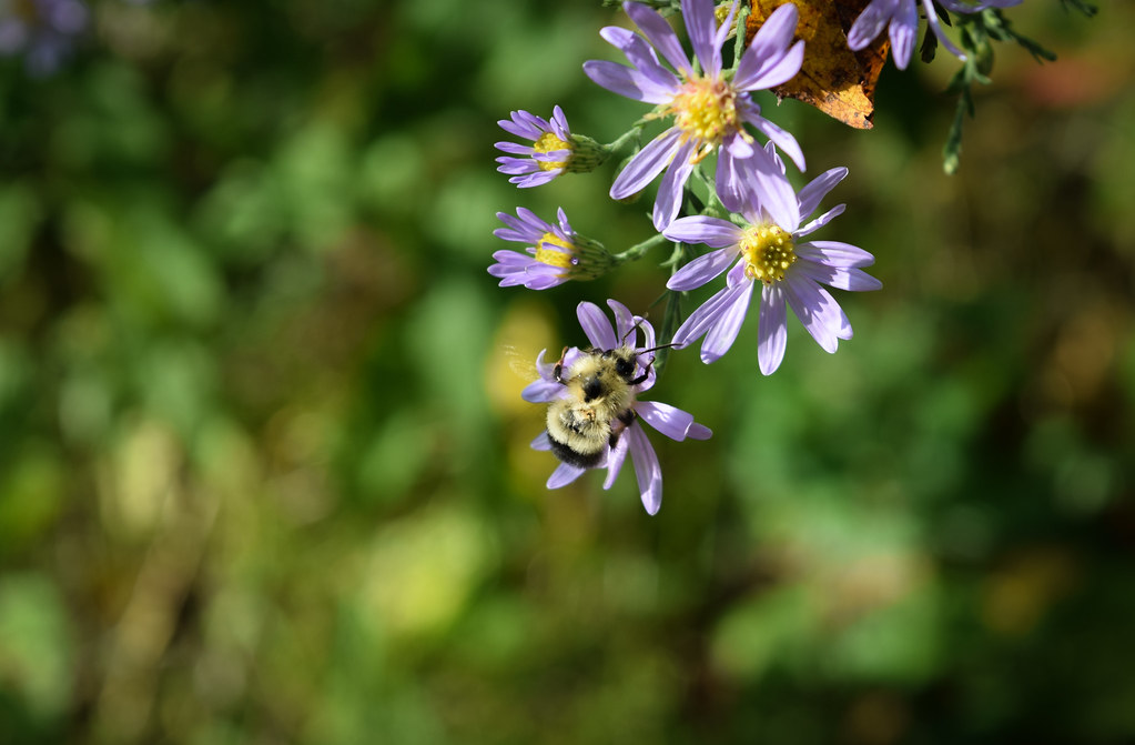 Asters and Bumblebee