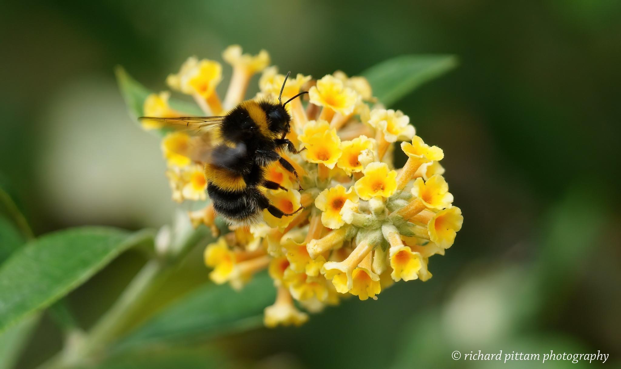 Bee on Buddleia bush