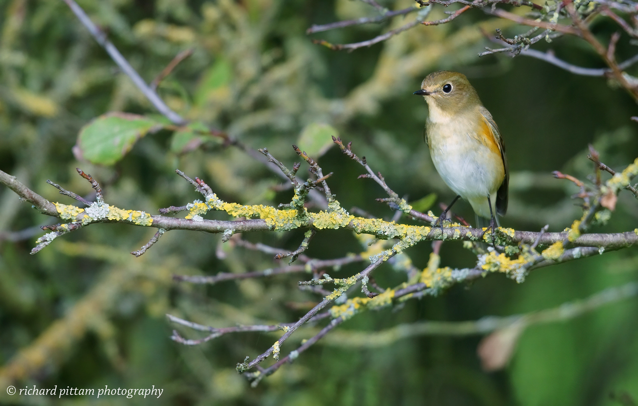 Red-flanked Bluetail