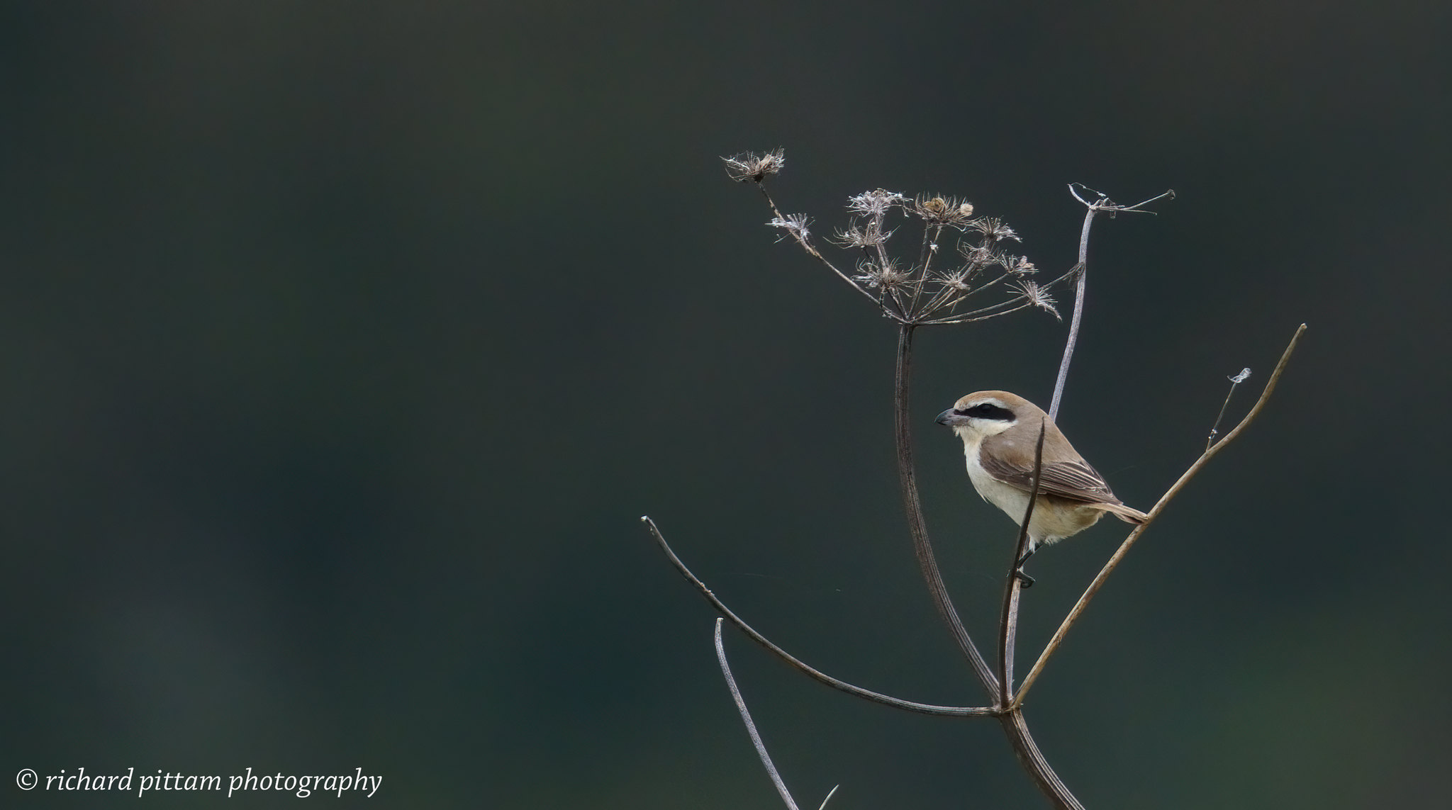 Brown? Shrike - sort of record shots - we couldn't get near it for various reasons.....