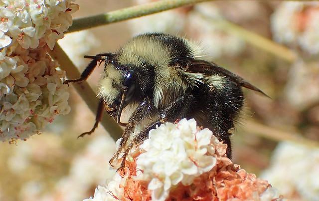 Black-tailed Bumble Bee (Bombus melanopygus)