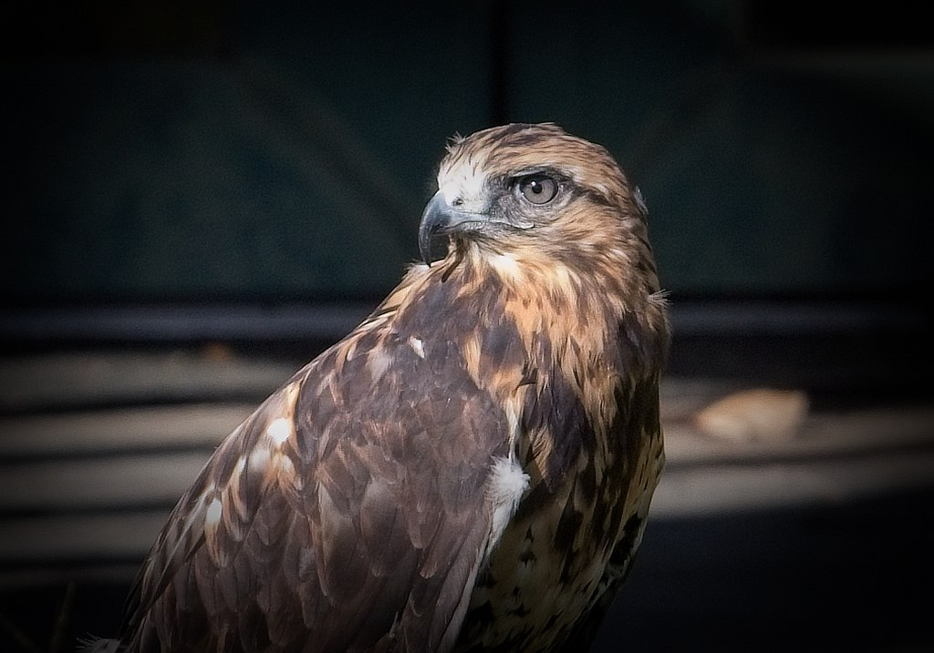 Gypsy the rough-legged hawk