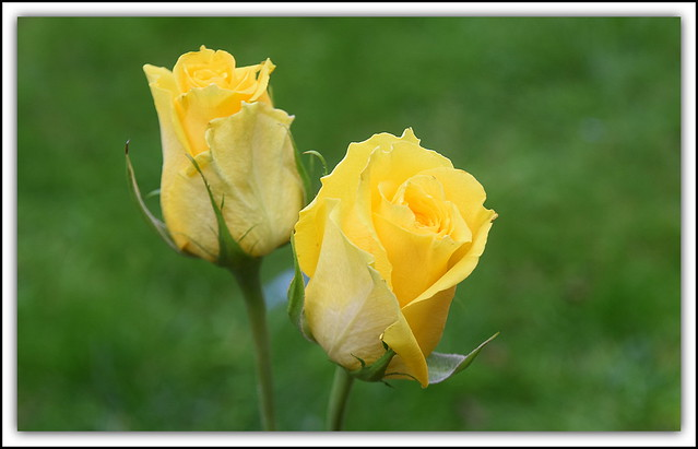 Flower Of The Day - Yellow Tea Roses. (Explored 24/10/20)