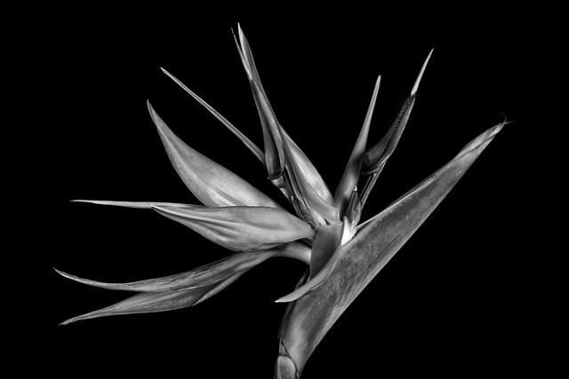 Bird Of Paradise Flower In Black And White