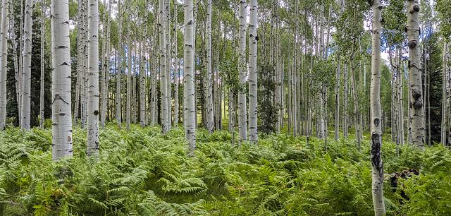 Birch Grove Pano