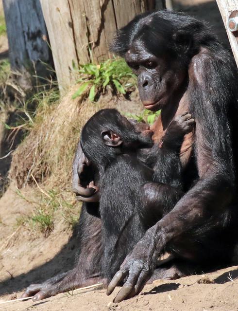 Bonobo Apenheul 094A1670
