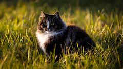 Norwegian Forest cat, Uppsala, October 23, 2020
