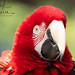 "<p><a href=""https://www.flickr.com/people/cougars/"">Nick Boren Photography</a> posted a photo:</p> 	 <p><a href=""https://www.flickr.com/photos/cougars/50522516276/"" title=""Macaw""><img src=""https://live.staticflickr.com/65535/50522516276_7b4ee9d091_m.jpg"" width=""240"" height=""185"" alt=""Macaw"" /></a></p>  <p>Some of the most beautiful birds on earth!<br /> <br /> I captured this handsome guy at the Phoenix Arizona zoo. <br /> <br /> He was very photogenic don't you think?  :-)<br /> <br /> No use of my Macaw image in any form without my permission!<br /> <br /> Thank you kindly!<br /> <br /> <a href=""http://www.nickborenphotography.com"" rel=""noreferrer nofollow"">www.nickborenphotography.com</a></p>"