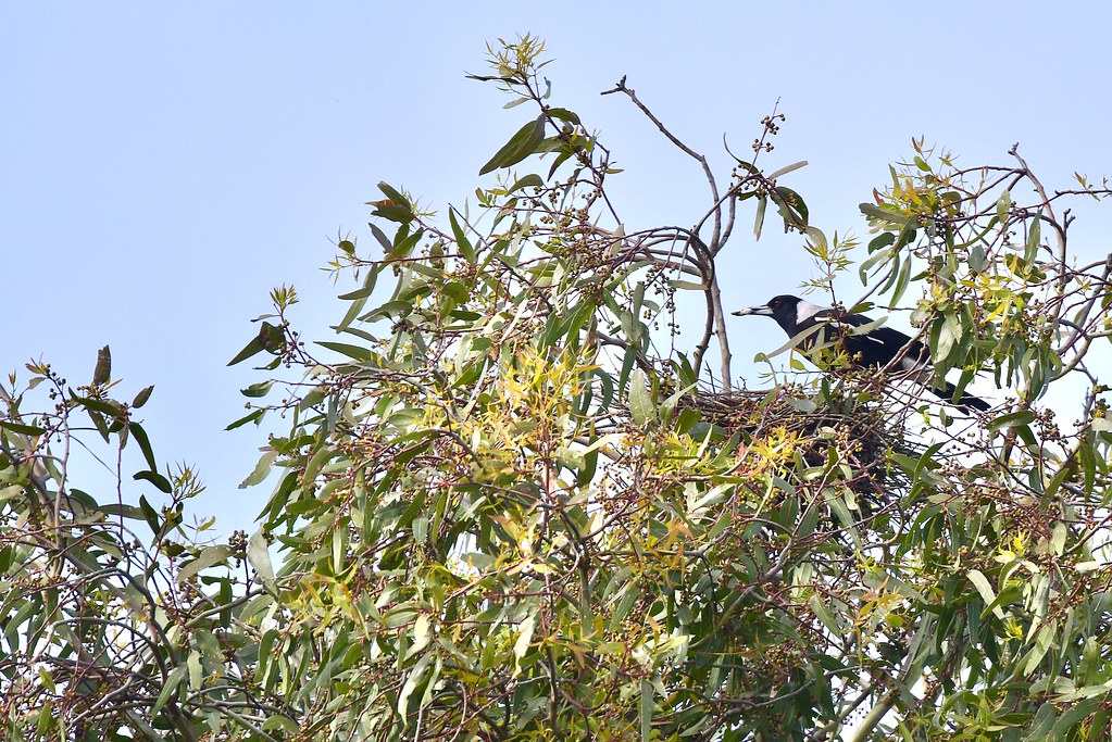Australian Magpie ( this was a Black- shouldered Kites nest )