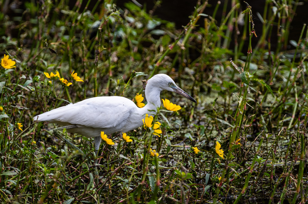 Juvenile Little Blue Heron in the Wildflowers
