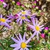 He tino ātaahua ēnei putiputi. He maha i ngā maunga. Loving the Spring flowers. Provide a lovely splash of colour. #TrailRunning #HamiltonHumanAwayFromHome #BelmontTrig