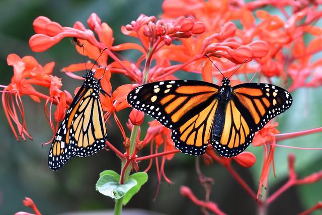 Love is like a Butterfly DSC_1376