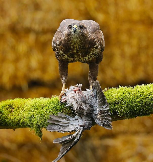 Common Buzzard,UK.