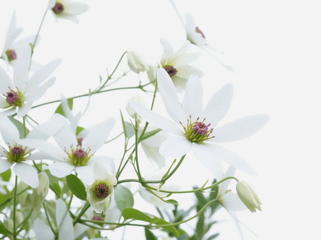 Clematis paniculata: #7 Flowers: 52 in 2020
