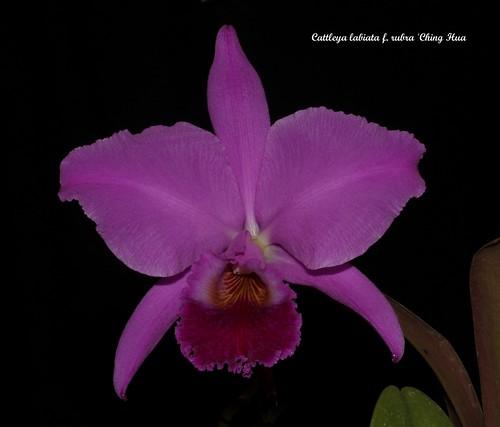 Cattleya labiata f. rubra 'Ching Hua 50523224402_3dd3746fcd
