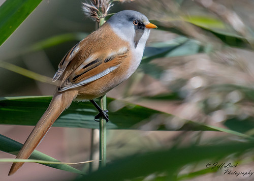 DSC8149  Bearded Tit... | by Jeff Lack Wildlife&Nature
