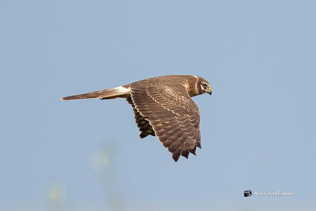 A Pallid Harrier in Flight in the morning