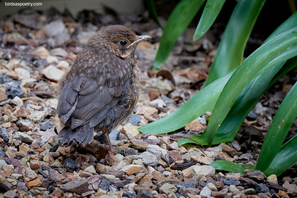Common Blackbird: Hello World