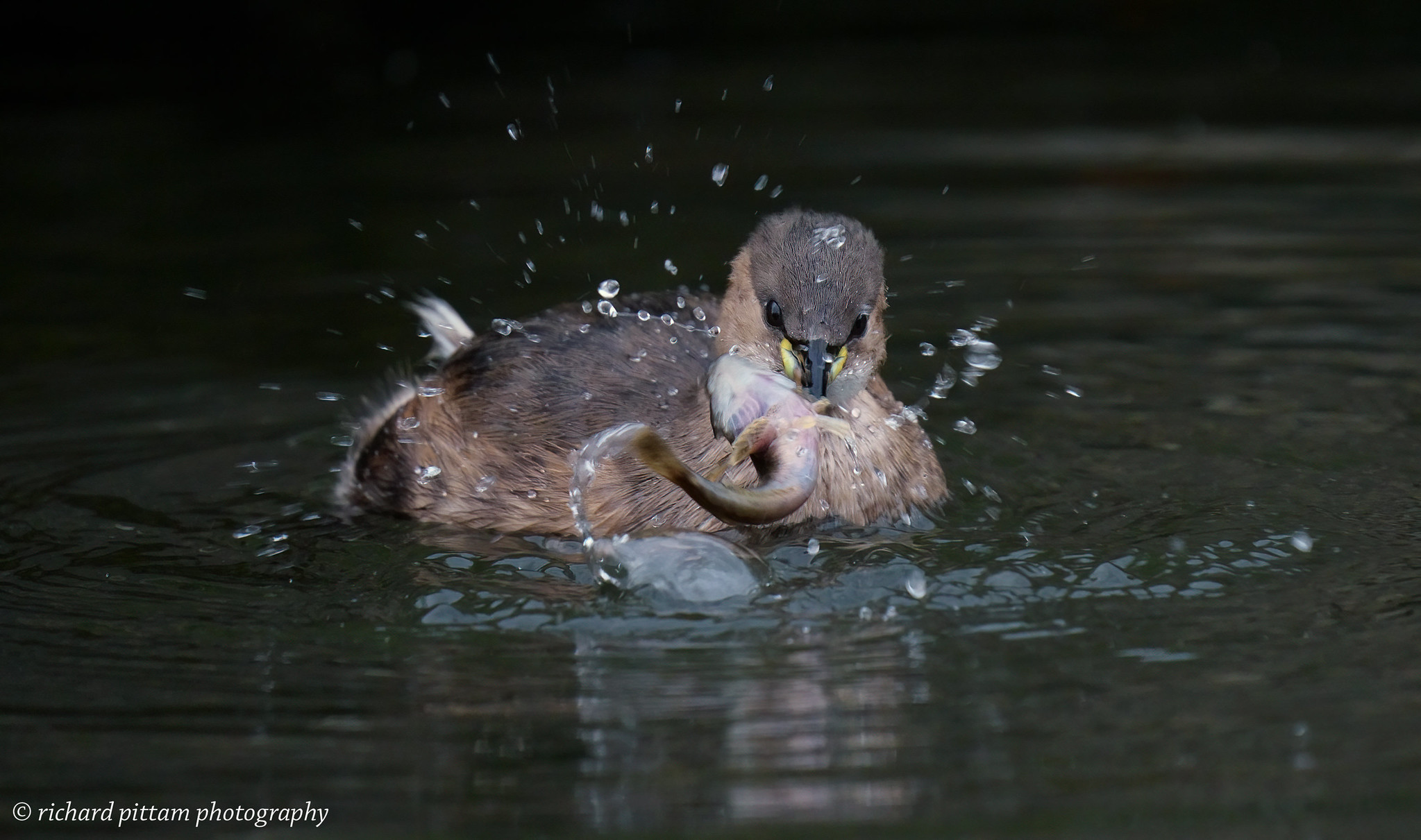 Little Grebe [ Dabchick] - low light testing with A7R4 and 200-600mm