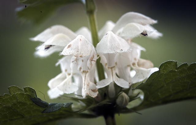 White dead-nettle