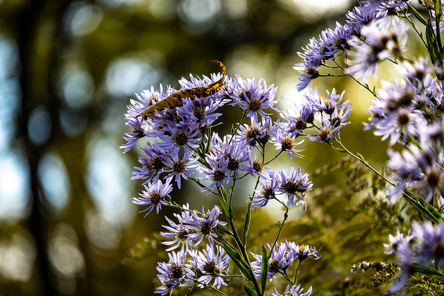 wild asters in the wind